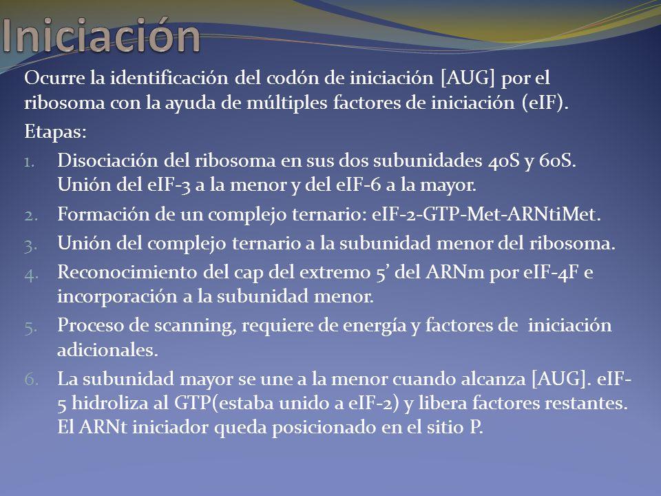Iniciación Ocurre la identificación del codón de iniciación [AUG] por el ribosoma con la ayuda de múltiples factores de iniciación (eIF).